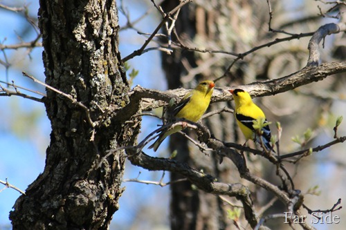 Pair of Goldfinches May 23