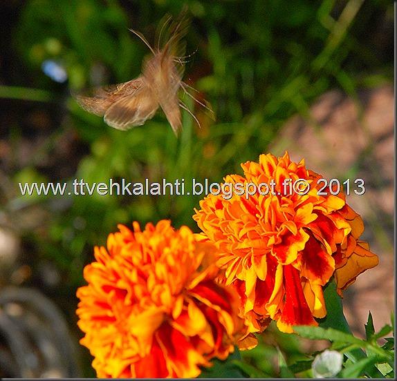 perhonen  sudenkorentoja 004