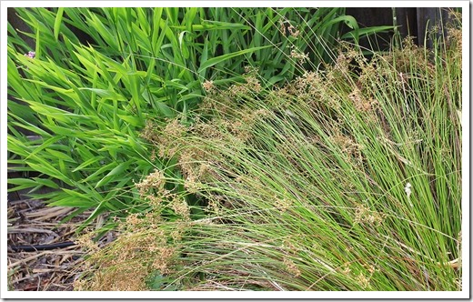 130601_Northern-sea-oats- -Juncus-patens