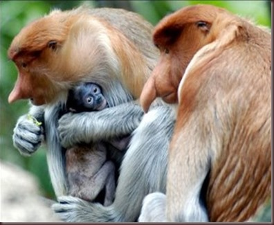 Amazing Pictures of Animals photo Nature exotic funny incredibel Zoo Proboscis monkey, long-nosed monkey, mammalia.Alex (8)