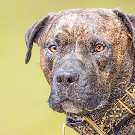 Mr. Malone by Jason Nordby - Animals - Dogs Portraits ( great dane mix, rottweiler mix, head shot, brindle, pit bull, close up, boxer mix )