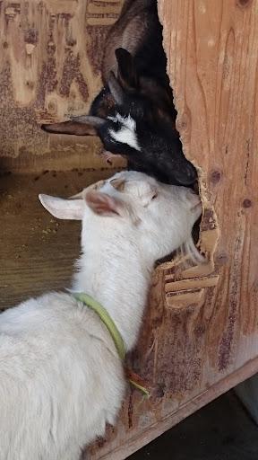 [写真]桜丘カフェで飼われているヤギ