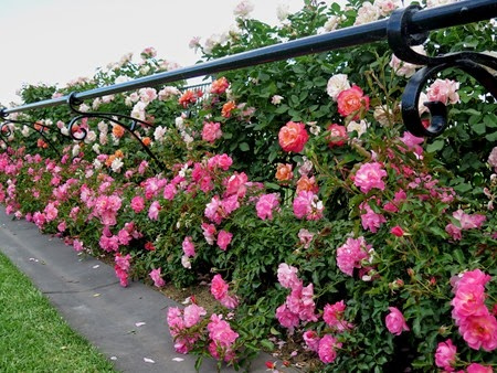 rose hedge