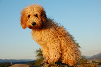 Hey Gorgeous Catalena,<br /> apricot labradoodle.