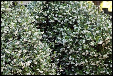 confed jasmine3