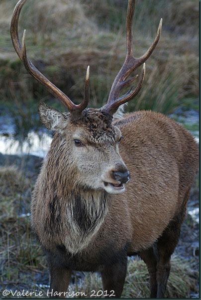 15-red-deer