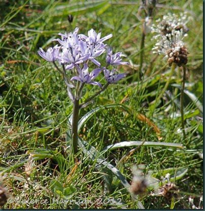 30-spring-squill