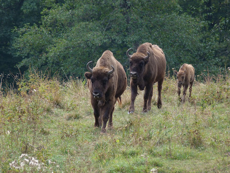 Things to see in Neamt: European buffalos