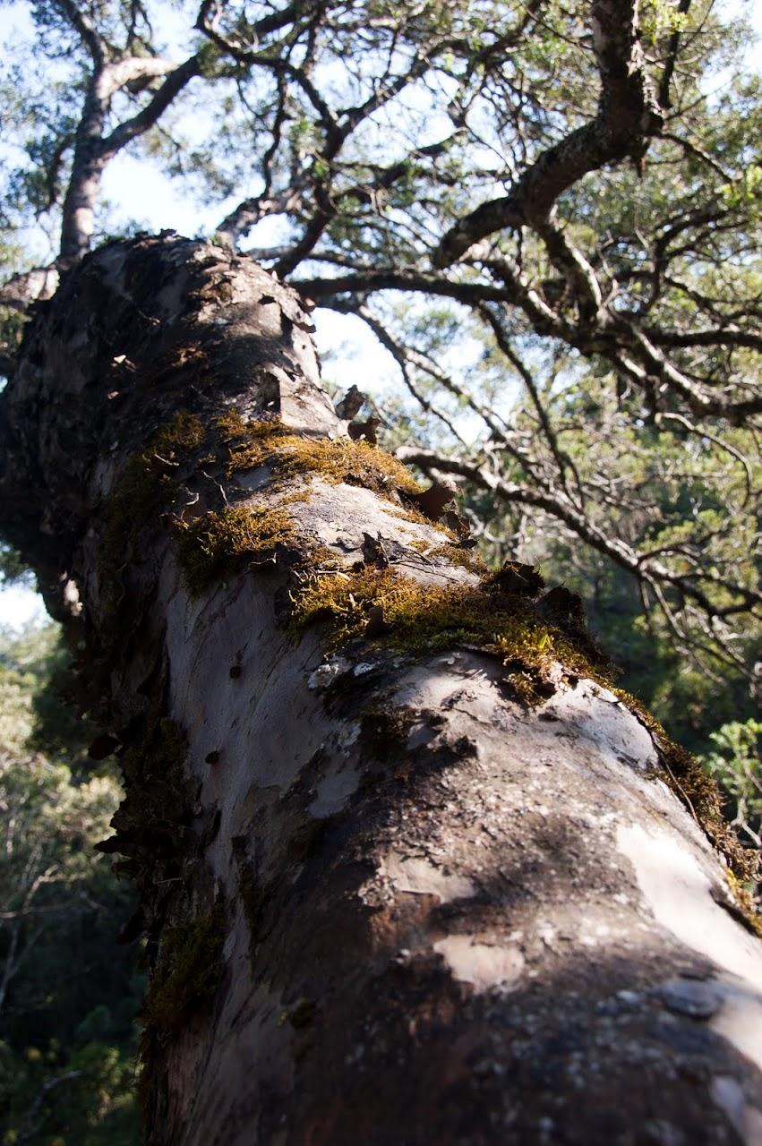 Tsitsikamma tree