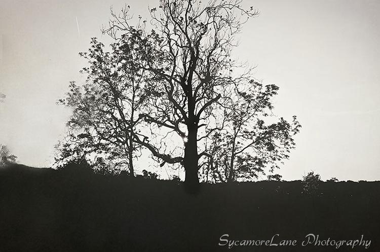 sycamore-1-w