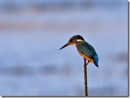 Kingfisher_1