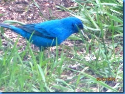 2014-05-22 Indigo Bunting in Mike's & Linda's backyard (2)