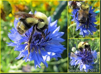 bbee on cornflower collage