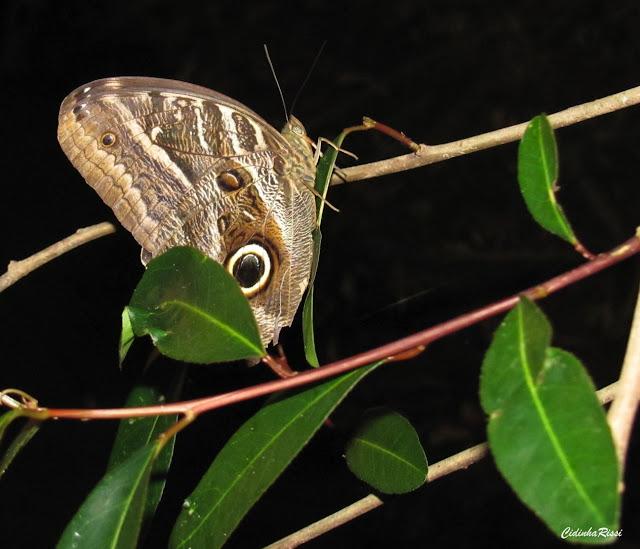 Caligo illioneus illioneus (CRAMER, 1775). Rive du Rio Teles Pires, município de Nova Canaã do Norte (Mato Grosso, Brésil), 11 juin 2011. Photo : Cidinha Rissi