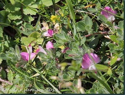 33-Common-Restharrow