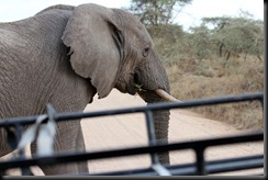 October 19, 2012 elephant crossing the road