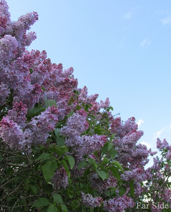 Lilacs and sky