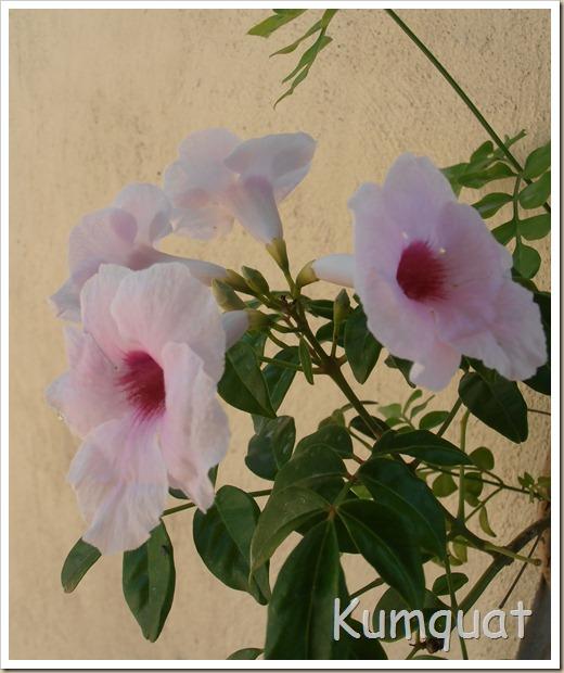 bignonia blanca 3