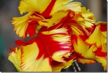 tulipa DSC_0391DSC_03933