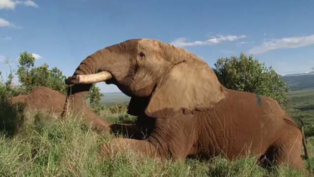 Mountain Bull, the magnificent six-ton elephant, featured prominently in CBS reporting on the poaching crisis in Africa for CBS Evening News and CBS Sunday morning, has been discovered dead. In this photo, Mountain Bull is seen after rangers sawed off the elephant's tusks in an effort to protect him from poachers. Photo: CBS News