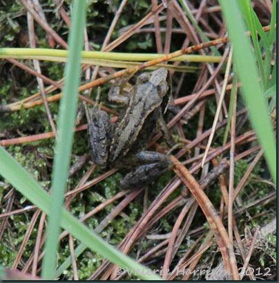 52-wee-frog
