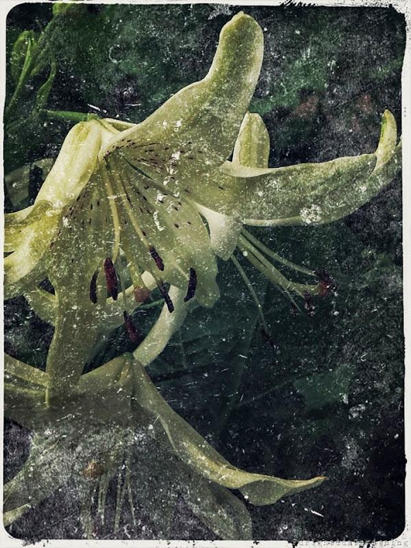 lilium, scented garden
