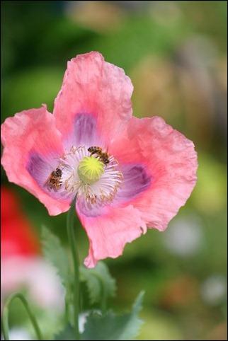 bees poppy 1