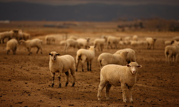 Lambs at the Mountain View Lamb Feeders feedlot in Eaton, Colorado. Many ranchers are cutting their flocks and selling at a loss, due to the ongoing, ruinous drought and anti-competitive prive manipulation. Matthew Staver for The New York Times