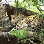 Leopard im Krüger Nationalpark © Foto: Gary Rose | Sunway Safaris