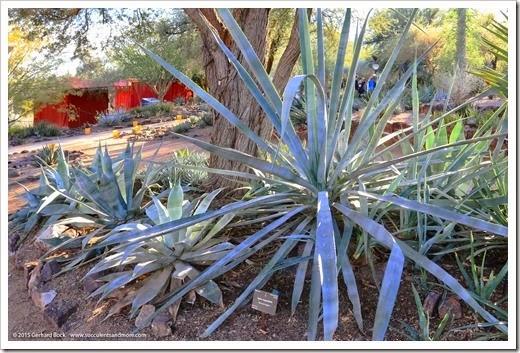 angustifolia_141230_Phoenix_DBG_0153
