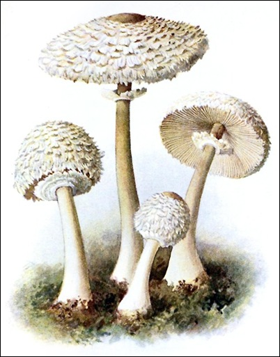 Lepiota cepaestipes