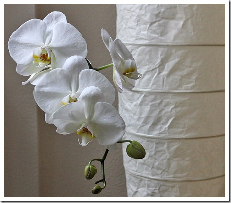 110625_orchid