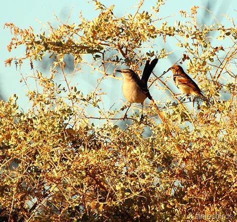 3. mockingbird-kab