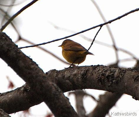 6. Palm Warbler-kab