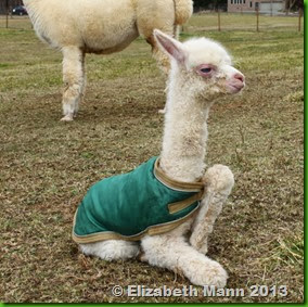 46-baby alpaca