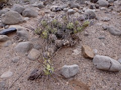 Vicious cactus in our wild campspot  outside Jachal.