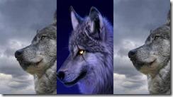 wolf samsung star wallpaper