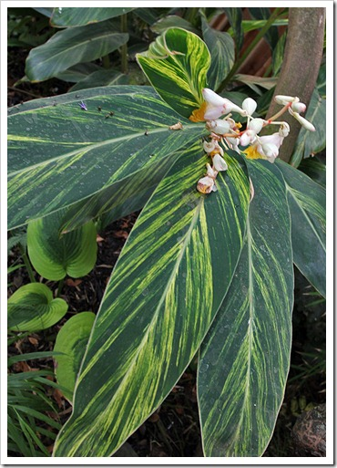110911_alpinia-zerumbet-variegata