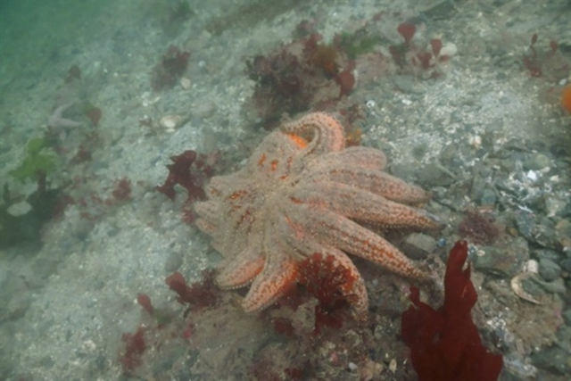 A dying seastar is shown in NW Bowyer Island Howe Sound on 2 September 2013 in this handout photo. In Spetember, a diver alerted Vancouver Aquarium staff that he had found a number of dead and decaying sunflower sea stars in the cold Pacific waters of a popular dive spot just off the shore of West Vancouver. Photo: Vancouver Aquarium / THE CANADIAN PRESS