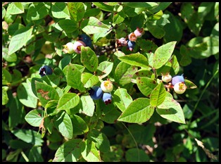 17c - BC Between Blueberries