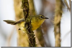 Yellow Tyrannulet-8D3E2679