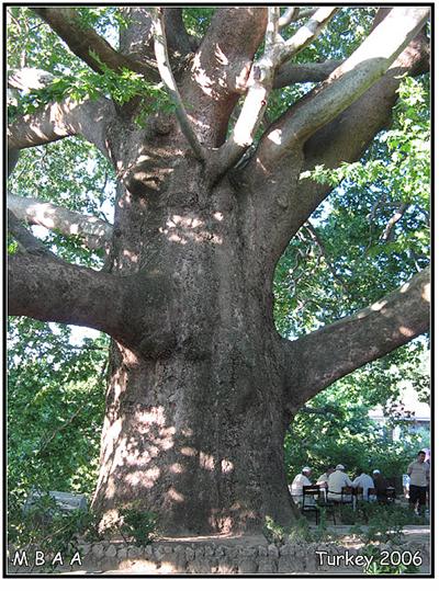 الشجرة العملاقة في بورصه