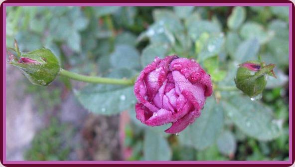 05-21-lavender-rose