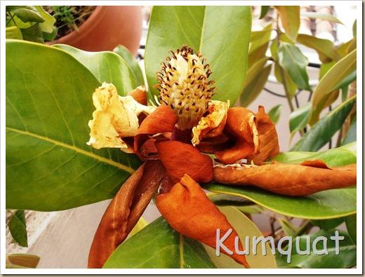 magnolio 7
