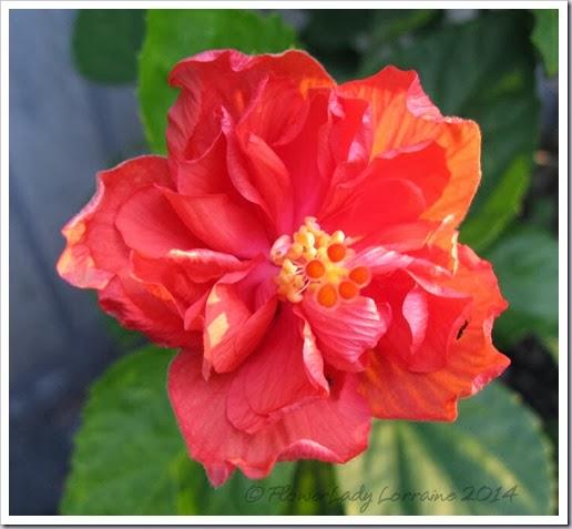 02-15-hibiscus