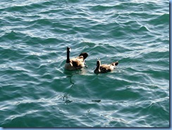 7787 Ontario  - Sault Ste Marie - Canada Geese
