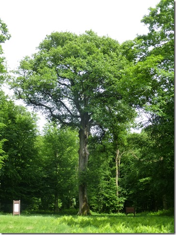 240 year old oak tree at the site of three menhirs near Saint-Nicolas-aux-Bois