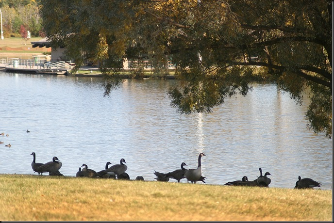 Geese in the shade