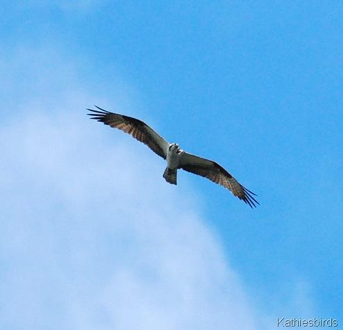 4. osprey-kab