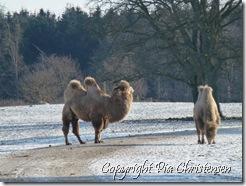 Kameler i Knuthenborg